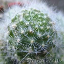 Rebutia albiflora 3
