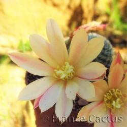 Rebutia heliosa hybride 6