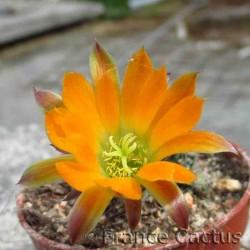 Rebutia pygmaea 5