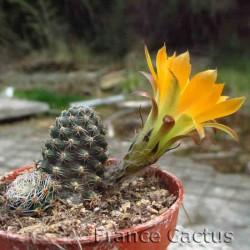 Rebutia pygmaea 4