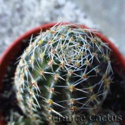 Rebutia pygmaea 3