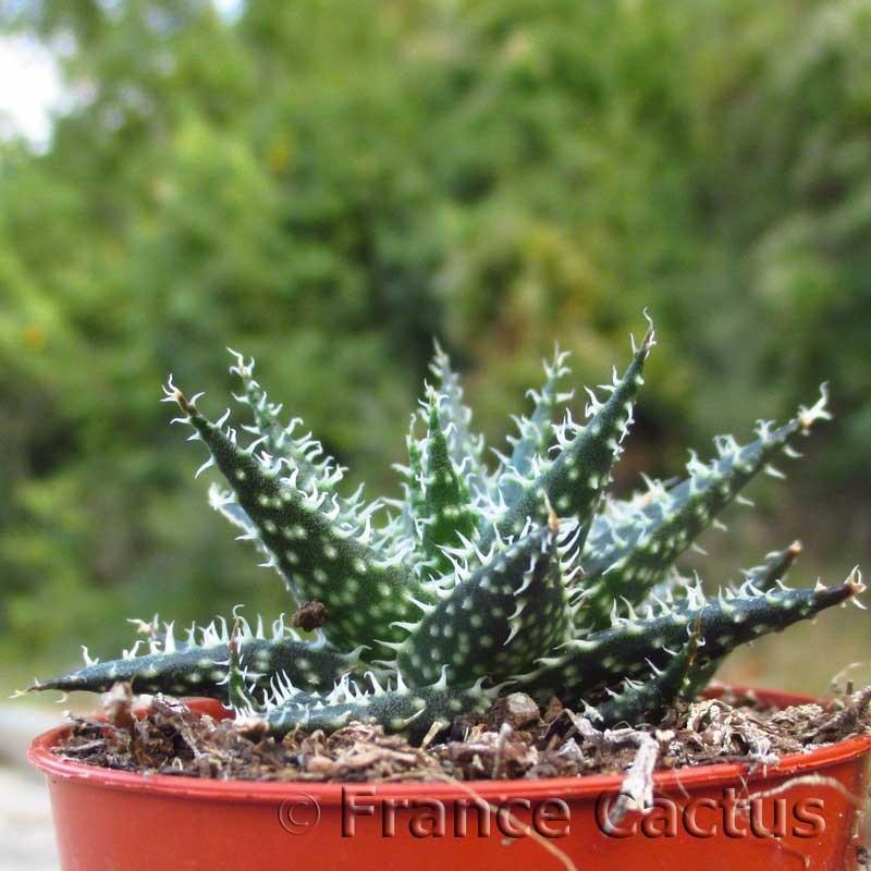 Aloe pepe 1