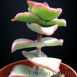 Crassula perfossa pot de 5