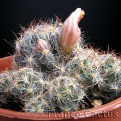 Mammillaria prolifera ssp prolifera