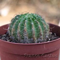 Parodia horsti en pot de 10,5 cm