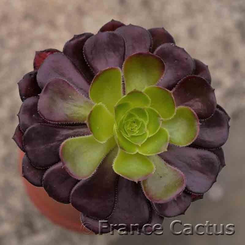 Aeonium arboreum atropurpureum foncé