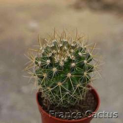 Mammillaria pringlei  6