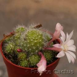 Rebutia albiflora 4