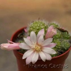 Rebutia albiflora 5