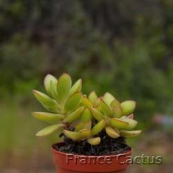 Crassula swaziensis variegata 1