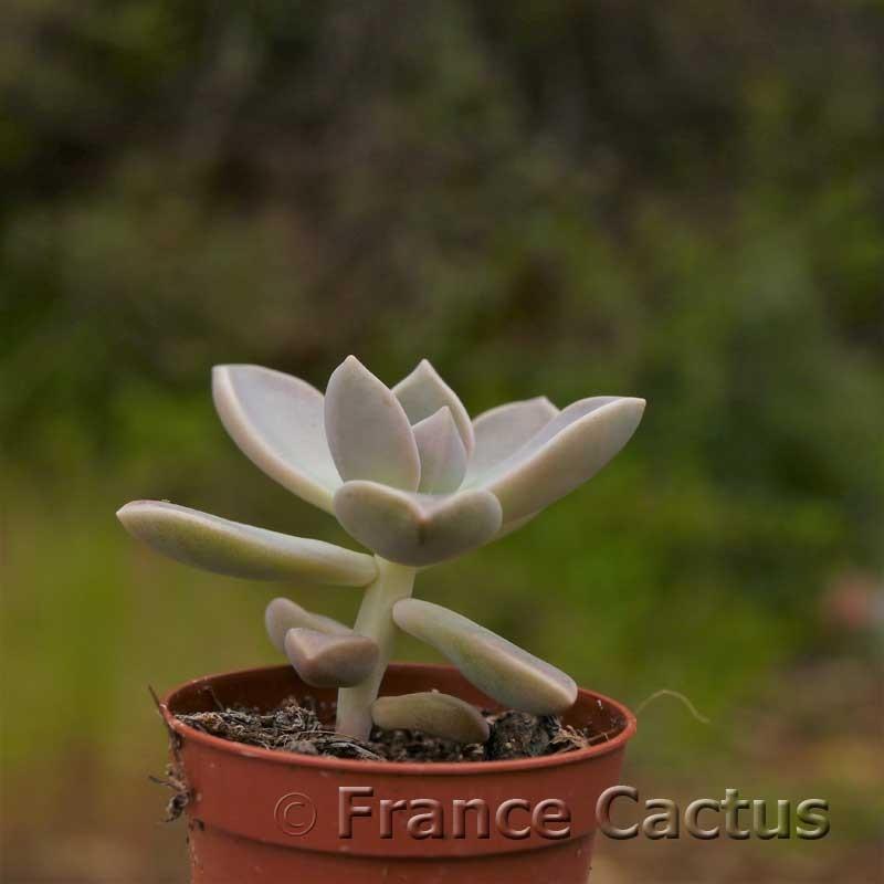 Graptopetalum paraguayense 1