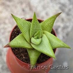 Haworthia limifolia Barbenton 5