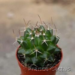 Mammillaria bernalensis 2