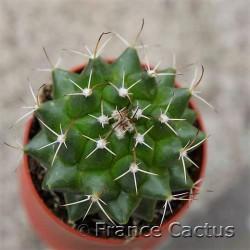 Mammillaria bernalensis 3