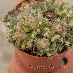 Trichodiadema densum fruits