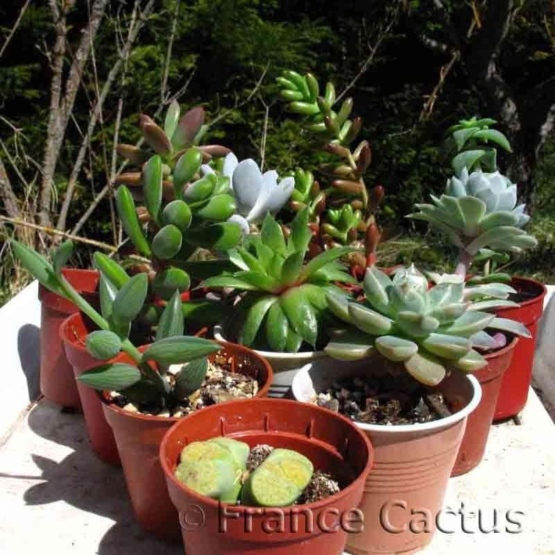 Lot de 10 succulentes variées
