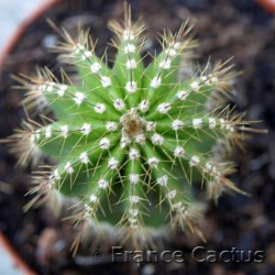 Pachycereus pecten aboriginum 7