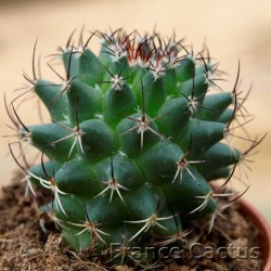 Mammillaria polythele 2