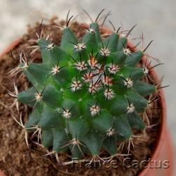 Mammillaria polythele 3