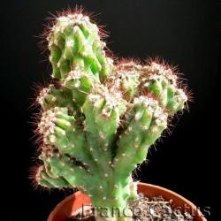Cereus hildmannianus fma monstruosa