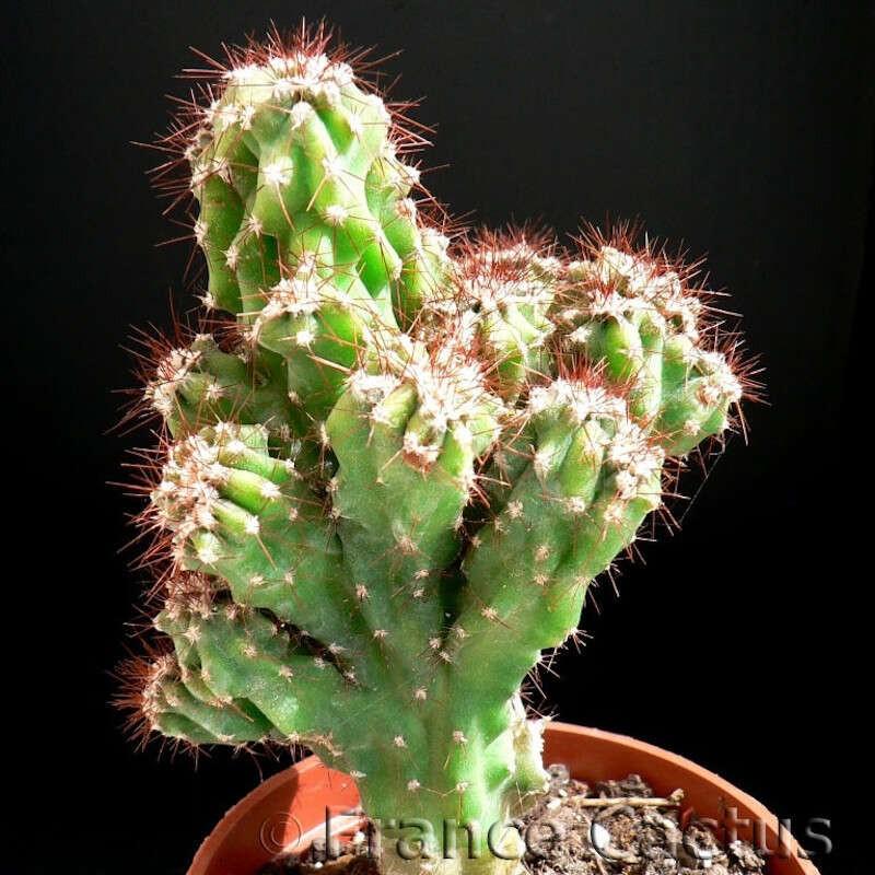 Cereus Hildmannianus fma monstruosa 1