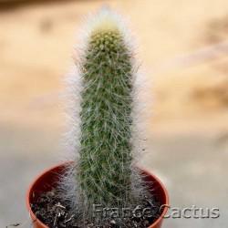 Cleistocactus vulpis-cauda 2