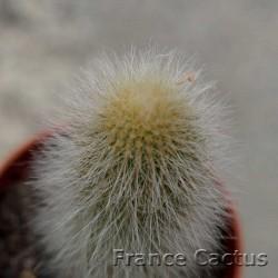 Cleistocactus vulpis-cauda 3