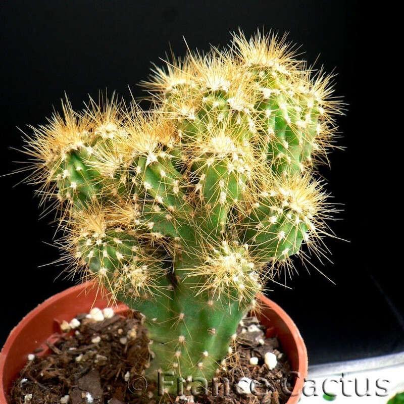 Cereus Jamacaru f. monstruosa 1