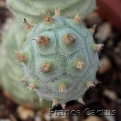 Tephrocactus inermis 8