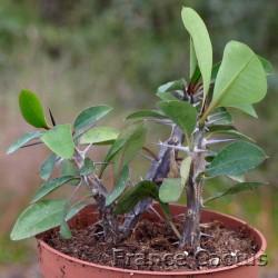 Euphorbia milii 5