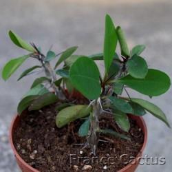 Euphorbia milii 6