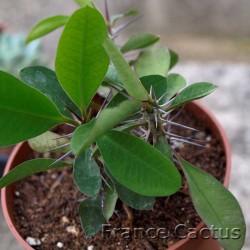 Euphorbia milii 7