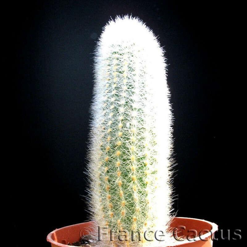 Cleistocactus Strausii pot de 5