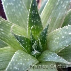 Aloe aristata 7
