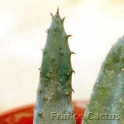 Aloe aculeata 7