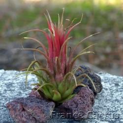 Tillandsia ionantha rouge 1