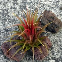 Tillandsia ionantha rouge 2