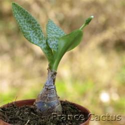 Scilla pauciflora 1