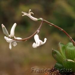 Haworthia obtusa 5
