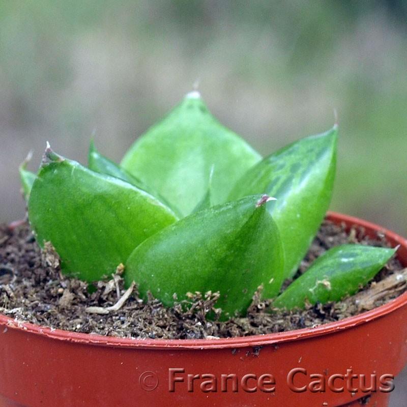 Haworthia turgida 1