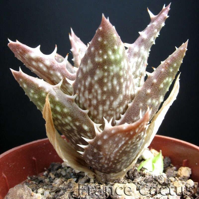 Aloe Juvenna pot de 5