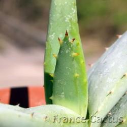 Aloe falcata 8