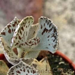 Kalanchoe rhombopilosa 3