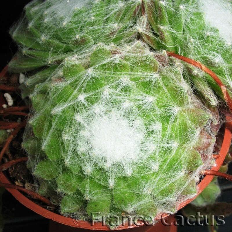Sempervivum Arachnoideum Pot de 5,5 cm
