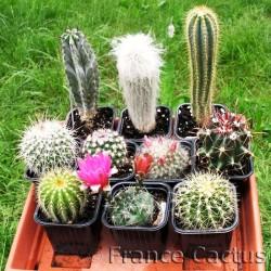 Lot de 10 cactus variés en pots de 8 cm.