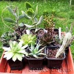 Lot de 10 Succulentes Variées en pot de 8 cm.