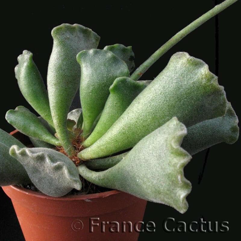 Adromischus Cristatus pot de 8 cm