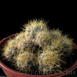 Mammillaria prolifera ssp texana