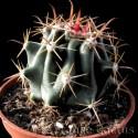 Ferocactus Horridus Pot de 8,5 cm