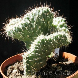 Opuntia Fulgida Cristata pot de 8,5 cm